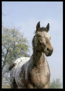 [015] Pferde-Karte 229, Ohne Angabe, ~1980 - Pferde