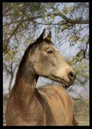 [015] Pferde-Karte 230, Ohne Angabe, ~1980 - Pferde