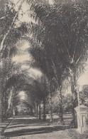 Singapour - Singapore - Arranga Saccharifera - Allée Palmiers - Horticulture - Singapour