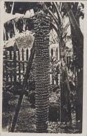 Singapour - Singapore - Tree Of Peaces - Horticulture - Singapore