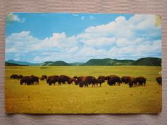 The Famous Philmont Buffalo Herd. One Of The Last Symbols Of The Old West. Philmont Scout Ranch, Cimarron. - Etats-Unis