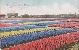 Pays Bas        362      Hyacinthenvelden Bij Hillegom - Nederland