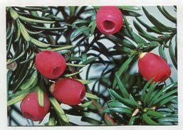 PLANT - AK306016 Eibe - Giftig - Giftige Pflanzen