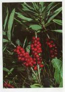 PLANT - AK306036 Seidelbast - Giftig - Plantes Toxiques
