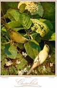 Chocolat Suchard - Pouillot Fitis - Fitislaubvogel - Lui Grosso   - Dimension: 14 X 20 Cm / - Suchard