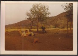 Sudan 1979 / INGASSANA Area / Southeast Sudan / Camel - Afrika
