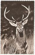 Gibier En Liberté / Wild - Hert / Cerf - éd Lander Eupen - 1958 - Carte Photo - Animaux & Faune