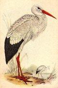 Image Série 10 : 36 Kleine Bilder . Alle Vögel Sind Schon Da - Bils 29 : Der Storch ( Weibstorch) - La Cigogne - Chromos
