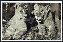 LIONS - LÖWE (1) - Non Circulé - Not Circulated  - Nicht Gelaufen. - Lions