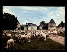 41 - AUTHON - Chateau - Moutons - France