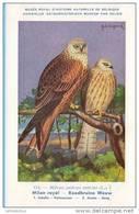 KBIN / IRSNB - Vogels / Oiseaux - 1943 - 114 - Milvus Milvus, Milan Royal, Roodbruine Wouw, Red Kite - Oiseaux