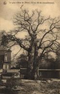 BELGIQUE - NAMUR - ÉGHEZÉE - LIERNU - Le Gros Chêne De Liernu (12m50 De Circonférence). - Eghezée