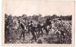 (Côte D'Ivoire) 027, Divo, Pociello, Débroussage Dans Une Plantation De Café - Elfenbeinküste