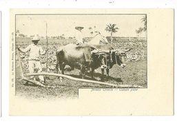 CUBA Arado Criollo Attelage De Boeufs Gros Plan - Cartes Postales
