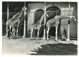 Suisse // Schweiz // Switzerland //  Bâle-Ville  //  Basel, Zoologischer Garten, Giraffen (girafe) - BS Bâle-Ville