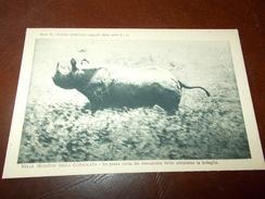 B671  Rinoceronte Non Viaggiata Cm14x9 - Rinoceronte