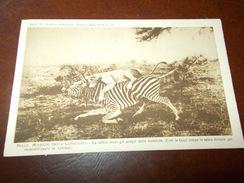 B671  Leonessa Zebra Non Viaggiata Cm14x9 - Leoni