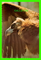 OISEAUX - THE HOODED VULTURE FROM AFRICA -  BIRD OF PREY EXHIBIT AT THE BRONX ZOO - - Oiseaux