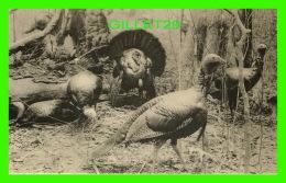 OISEAUX -  GROUP OF WILD TURKEYS, NORTHERN LOUISIANA - FIELD MUSEUM OF NATURAL HISTORY, CHICAGO - - Oiseaux
