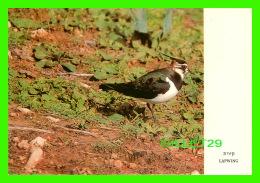 OISEAUX - LAPWING -VANELLUS VANELLUS  -  PALHOT LTD, ISRAEL  - - Oiseaux