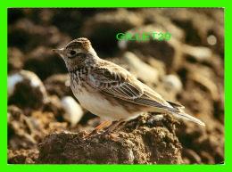OISEAUX - FELDLERCHE - ALOUETTE DES CHAMPS - LODOLA - ÉCRITE EN 1984 - FOTO, A. SAUNIER - - Oiseaux