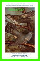 OISEAUX - COUCOU GRIS - CUCULUS CANORUS CANORUS L - CIRCULÉE - - Oiseaux