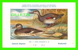 OISEAUX - CANARD CHIPEAU - KRAKEEND - MUSÉE ROYAL D'HISTOIRE NATURELLE DE BELGIQUE - - Oiseaux