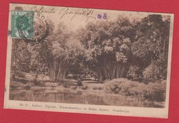 Colombo  -- Riesenbambus Im Botan Garten - Sri Lanka (Ceylon)