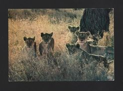 POSTCARD 1960 Years WILD LIFE AFRICA LIONS LIONESS & CUBS FAUNA AFRIQUE AFRIKA - Unclassified