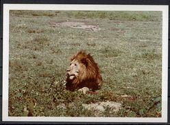 Afrika, Natur, Savanne, Löwe Von Hobbyfotograf (9) - Afrika