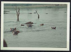 Afrika, Natur, Savanne, Flusspferde Von Hobbyfotograf (11) - Afrika