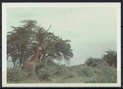 Afrika, Natur, Savanne, Giraffe Von Hobbyfotograf (19) - Afrika