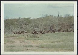 Afrika, Natur, Savanne, Büffelherde Von Hobbyfotograf (21) - Afrika