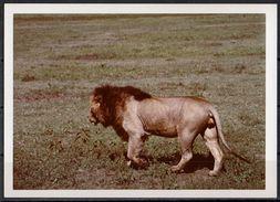 Afrika, Natur, Savanne, Löwe Von Hobbyfotograf (26) - Afrika