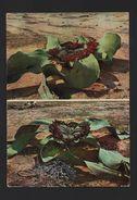 Postcard 1960s ANGOLA MOÇâMEDES WELWITSHA MIRABILIS Hermaphodite FLORA AFRICA - Postcards