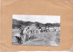 SRI LANKA - Reaping  PADDY   CEYLON - Ton3 - - Sri Lanka (Ceylon)