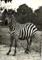 B 1534 - Zèbre  Au Zoo De Praha - Zebras