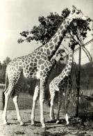 B 1536 - Girafes   Au Zoo De Praha - Giraffes