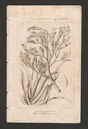Rare ANTIQUE PRINT XIX Century NEW ZEALAND FLORA BOTANIC BOT BOTANIQUE NATURE Z1 - Unclassified