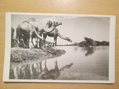 1960. Camels , Khartoum / Sudan / Africa Postcard With Censorship  Mark, First Sudanese Civil War 1955-1972 - Sudan