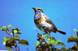 BIRDS - BLUETHROAT  (Luscinia Svecica) - ZH Zurich