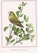 BIRDS - EUROPEAN GREENFINCH  (Carduelis Chloris) - Tiergarten