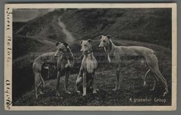 V265 Animali Cane LEVRIERI A GRACEFUL GROUP FORO HOLE VG SBA FP (m) - Dogs
