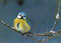 BIRDS - EURASIAN BLUE TIT (Parus Caeruleus) - Romania