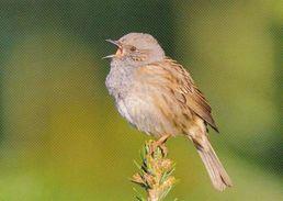 BIRDS - DUNNOCK (Prunella Modularis) - ZH Zurich