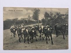 ELSENBORN «ABEND In Elsenborn ( Soirée à Elsenborn ) Troupeau De Vaches (Édit JOH.KANZLER ,Elsenborn)nº 5299. - Bütgenbach