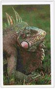 IM038 : Jungle Mania Auchan 2011 N°018 Iguane Vert (sticker Spécial) En Relief - Stickers