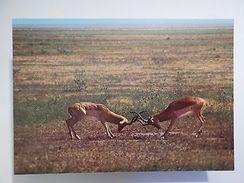 POSTCARD AFRICA MOZAMBIQUE GORONGOSA PARK WILD LIFE ANIMAL IMPALAS 1960s Z1 - Postcards