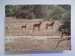 POSTCARD AFRICA MOZAMBIQUE GORONGOSA PARK WILD LIFE ANIMAL HARTEBEEST 1960s Z1 - Postcards