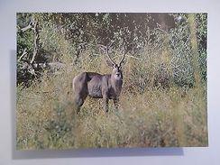POSTCARD AFRICA MOZAMBIQUE GORONGOSA PARK WILD LIFE ANIMAL WATERBUCK 1960s Z1 - Postcards